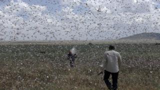 Doğu Afrika'nın çekirgelerden kurtulmak için milyonlarca dolara ihtiyacı var