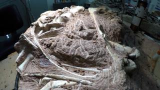 Arjantin'deki dinozor fosili: Bilinen en büyük kara hayvanı olabilir
