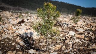 Madagaskar'da 75 milyon ağaç dikilecek