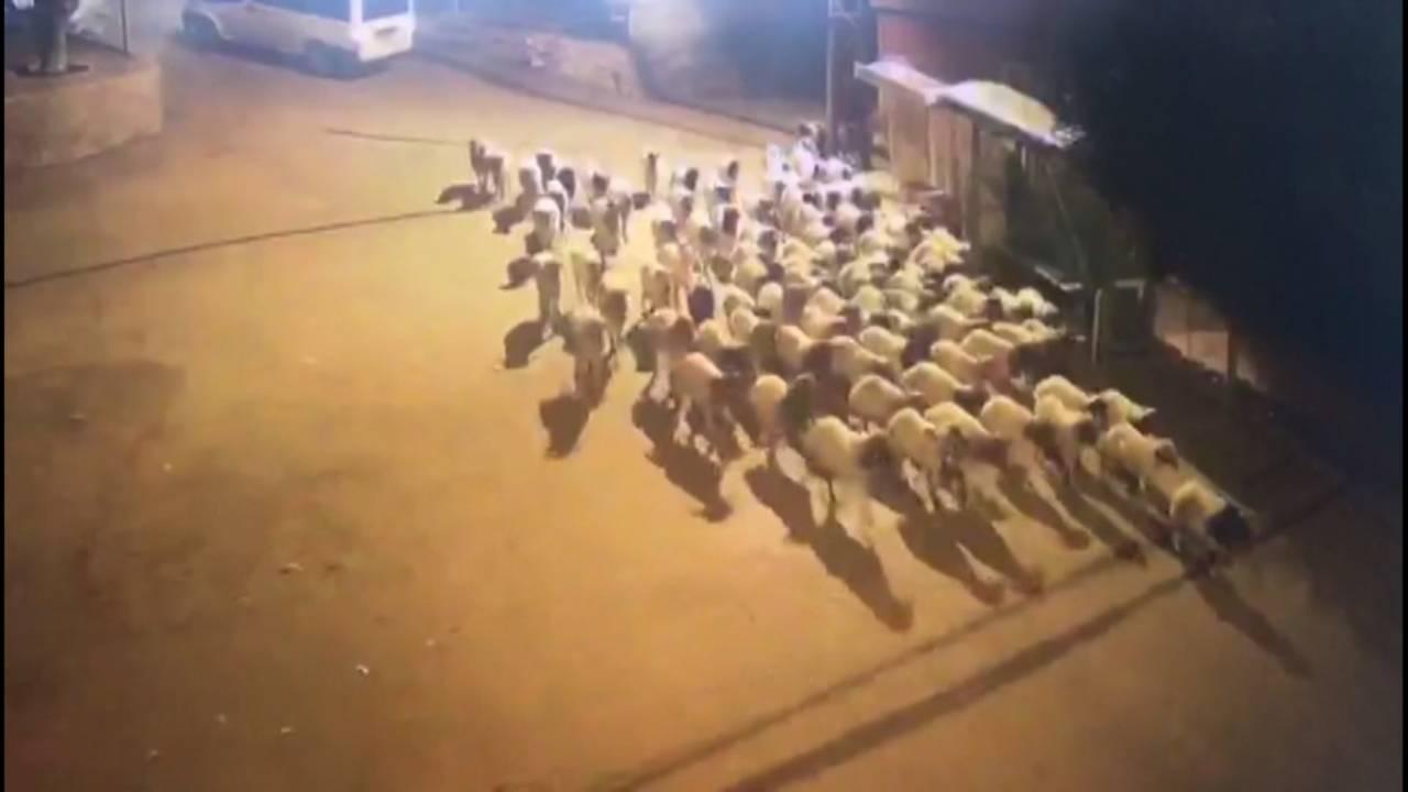 Çalınan koyunlara sıra dışı takip