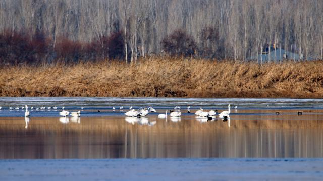 Van Gölü, Sibirya'dan gelen ötücü kuğuları ağırlamaya başladı