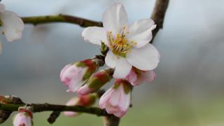 Manisa'da ocak ayında ağaçlar çiçek açtı