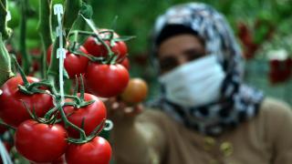 Çaldıran'da eksi 40 derecede bile domates üretiliyor