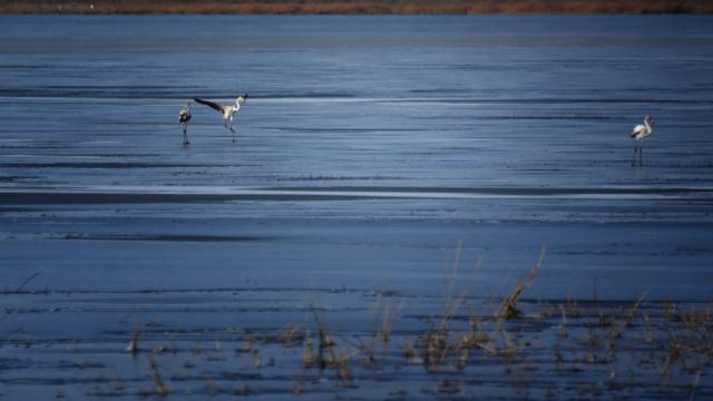 Flamingolar kurumaya yüz tutan gölü terk etmedi