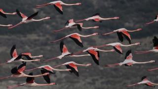 Gediz Deltası flamingolarla renklendi