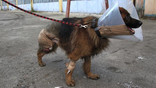 Kulübesinde bırakılan köpek bacağı kesik halde bulundu