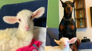 Kuzu Billy'nin yaşama mücadelesine hayvan dostlarından destek