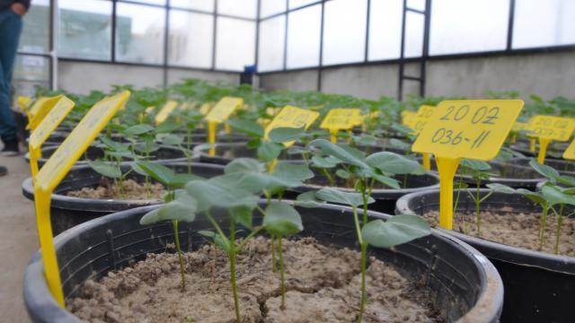 """Aydında """"Sahra"""" ve """"Solmaz"""" adı verilen kuraklığa dayanıklı pamuk tohumu geliştirildi"""