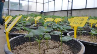 """Aydın'da """"Sahra"""" ve """"Solmaz"""" adı verilen kuraklığa dayanıklı pamuk tohumu geliştirildi"""