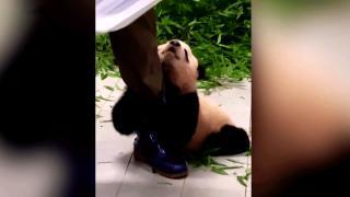 Yavru panda, bakıcısının peşini bırakmadı