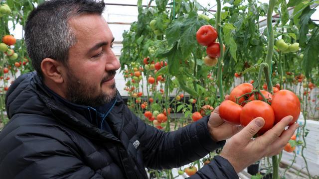 """Jeotermalle ısıtılan seralarda üretilen """"Simav Eynal domatesi"""" sofraları süslüyor"""