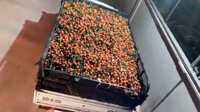 Narenciye bahçesinden 15 ton mandalina çalındı