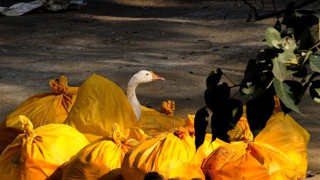 Fransada kuş gribi alarmı: 2 milyon ördek itlaf edildi