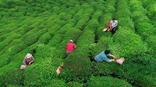 Çay lifi ve atıkları ekonomiye kazandırılıyor