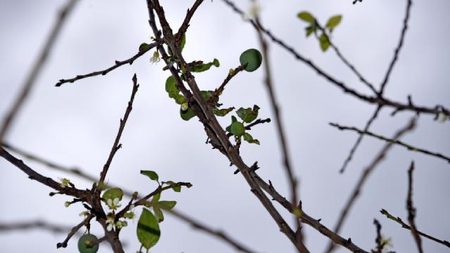 Erik ağacı ocak ayında meyve verdi