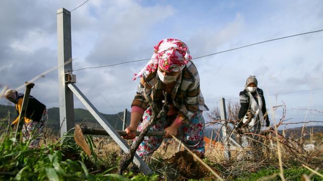 İzmirli kadınlar imece usulü bağ hazırlığı yapıyor