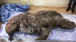 14 bin yıl önce nesli tükenen tüylü gergedan keşfedildi
