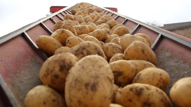 Patates üzerinde 9 milyon faydalı böcek üretilecek