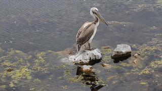 Senegal'de kuş gribi: 750 pelikan telef oldu