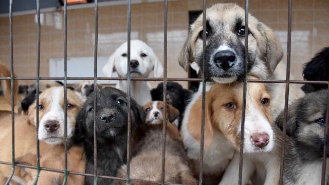 Siirtte hayvan barınağındaki 30 yavru sahiplenmeyi bekliyor