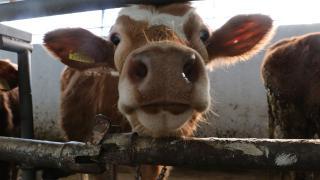 Siirt'te 36 bin büyükbaş hayvana şap ve LSD aşısı yapılacak