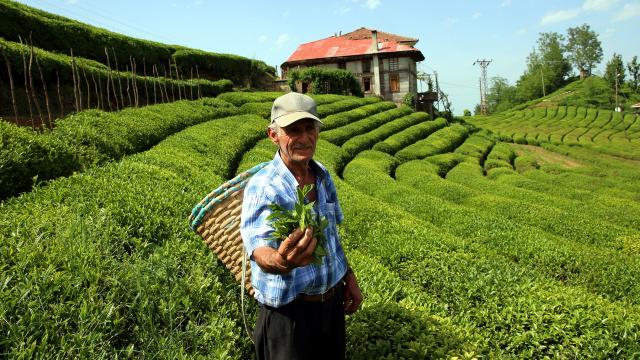 Karadenizde çay tarımı için gelenlere 10 gün karantina şartı