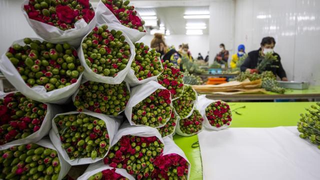 Türkiyeden Sevgililer Günü için 7 milyon dolarlık çiçek ihracatı