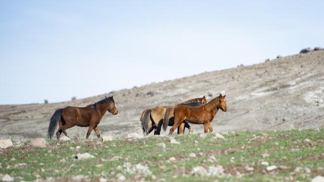 Tuncelinin dağ köylerindeki yılkı atları