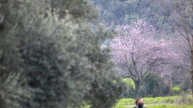 Antalyada badem ağaçları çiçek açtı