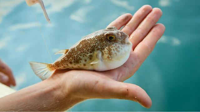 Dünyanın en zehirli omurgalı hayvanı: Balon Balığı