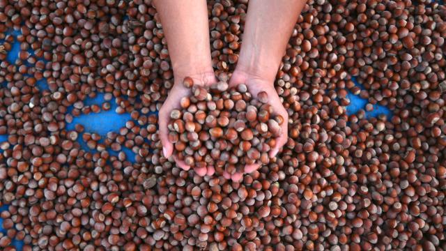 Yalancı bahara aldanan fındıkta zirai don riski