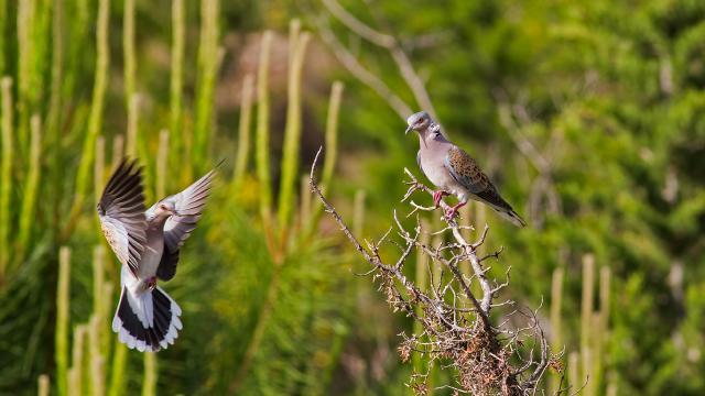Güvercinlerin soyu her geçen gün tükeniyor