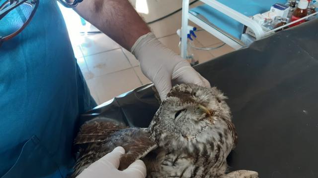 Hakkaride yaralı bulunan baykuş tedavi edilecek