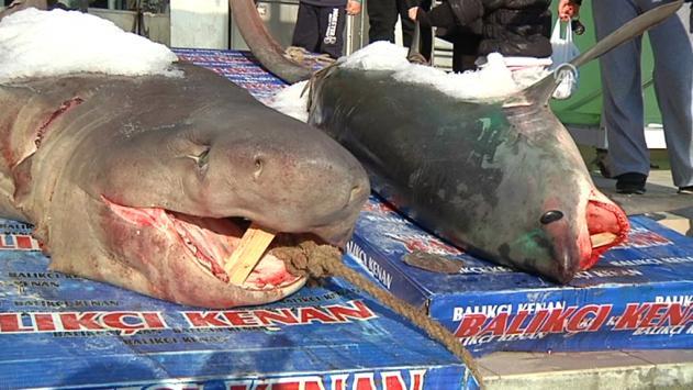 İstanbulda 2 Köpek Balığı Yakalandı