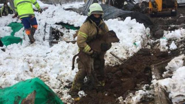 Şilede kar nedeniyle ahırın çatısı çöktü: 10 hayvan telef oldu