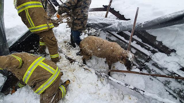 Balıkesirde kar nedeniyle ahırın çatısı çöktü: 10 koyun telef oldu