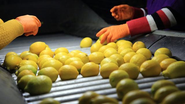Mersinde yaklaşık 7 milyon kasa limon hasat edildi