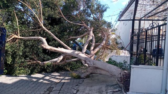 Muğlada fırtına ağaçları devirdi