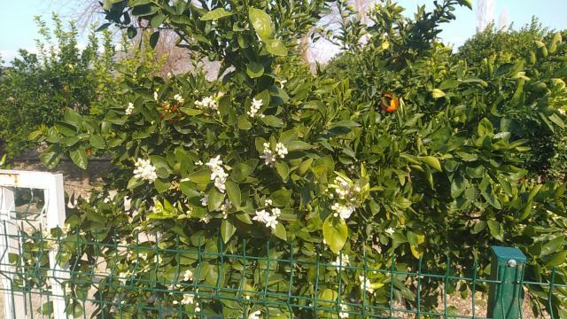 Kozanda portakal ağaçları çiçek açtı