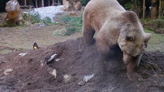 İneği yiyen ayı kalanını toprağa gömdü