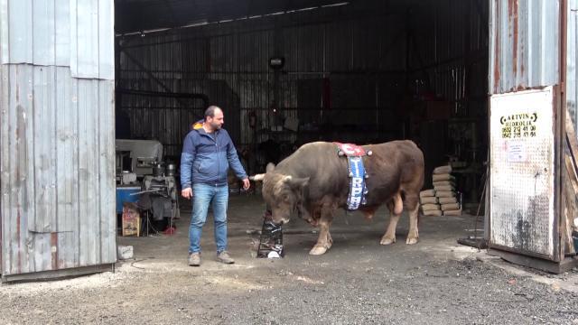 900 kiloluk boğasına tamirhanesinde bakıyor