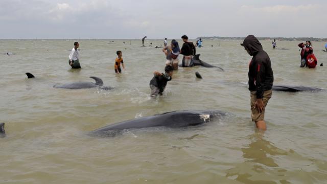 Endonezyada 46 pilot balina kıyıya vurdu