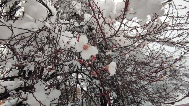 Erken çiçek açan meyve ağaçları kar altında kaldı