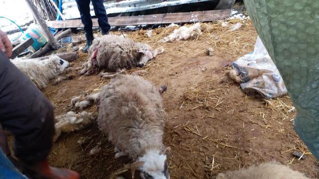Kurtlar koyunlara saldırdı: 13ü telef oldu
