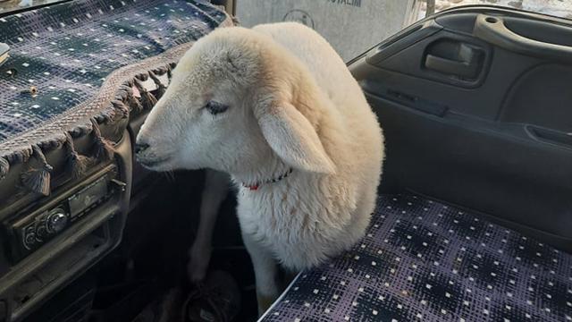 Sürücü, yolda bulduğu kuzuyu aracına alıp ısıttı