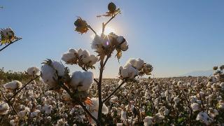 3 pamuk tohumu daha ABD'de tescil aldı