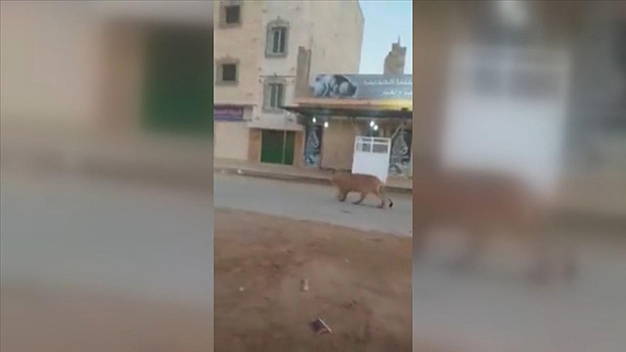 Libya'da caddede başıboş gezen aslan görenleri şaşırttı