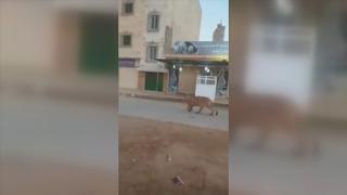 Caddede başıboş gezen aslan görenleri şaşırttı