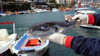Balon balığını deri sektöründe kullanmaya hazırlanıyor