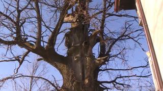 Bosna'da 'hayat kurtaran' meşe ağacı, yıllara meydan okuyor